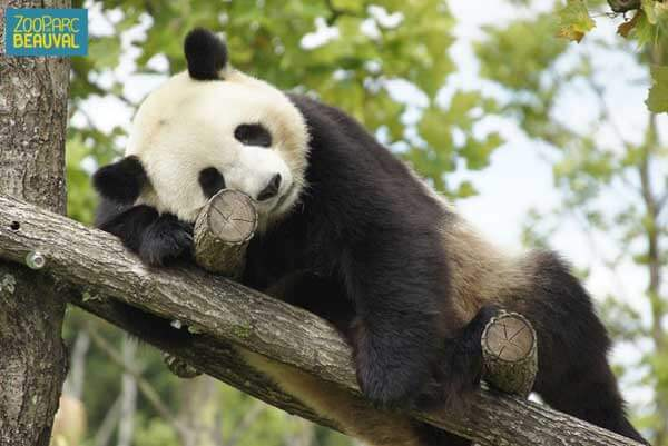 Un panda se repose au zoo parc de Beauval